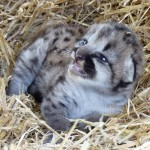 Cheetah cubs ,ocelots, Caracals , cougars  and leopard cubs for sale