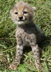 Servals , F1 savannahs, ocelots and cheetah cubs available
