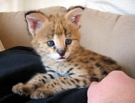 Adorable serval , Savannah kittens and cheetah cubs available