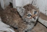 Ocelot,Bob Cat and Sphynx Kittens for Sale