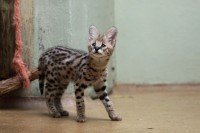 African Serval  , Cheetah cubs and F1 Savannah kittens for sale
