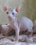 Beautiful Sphynx Male & Female kittens