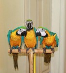 Bluegold macaw babies