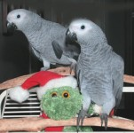 Macaw, cockatoo and African grey parrots available