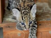 Cheetah cubs , savannah kittens and servals available