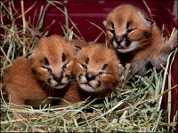 Caracal kittens and Cheetah cubs available for sale
