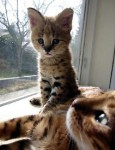 African Servals and F1 Savannah kittens with complete package  .