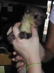Fennec Foxes, Spotted Genets, Kinkajous and Baby Koalas for sale